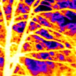 Baum im Führjahr Wärmebild mit Seek Thermal XR
